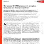 The vesicular SNARE Synaptobrevin is required for Semaphorin 3A axonal repulsion