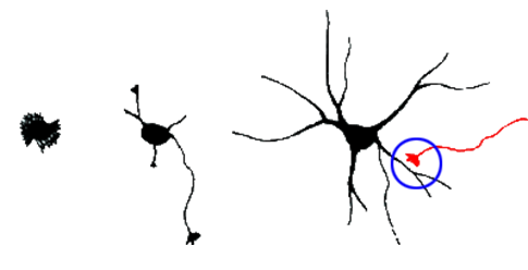 Schematic representation of of synapses formation during neuritogenesis